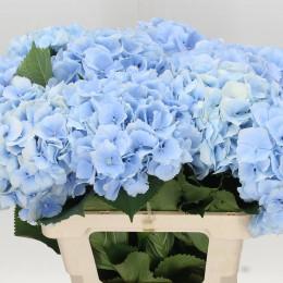 Hydrangea Verena blue (Гортензия Верена блу) В50