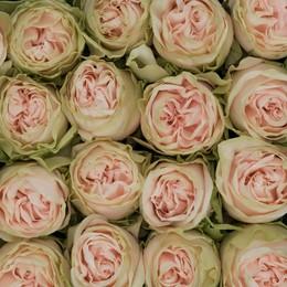 Rosa Gr Wedding Spirit ( Веддинг Спирит ) В60 Rosa Prima