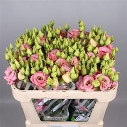 Eustoma Du Fleurel Pink (Эустома ду Флерел Пинк) В75