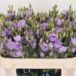 Eustoma En Cari Lavendel (Эустома Эн Кари Лавандер) В75