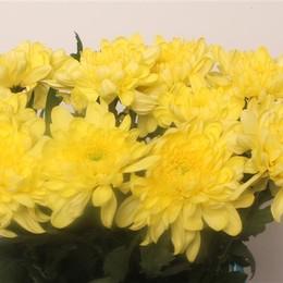 Chrys. gr. Zembla Yellow (Хриз. одн. Зембла Еллоу) В70