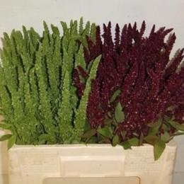 Amaranthus mix in bucket(Амарантус микс ин букет)В60