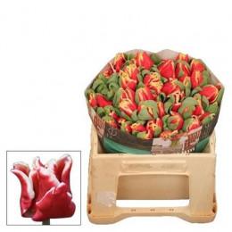 Tulipa En Ov (Тюльпан Эн Ов) В38