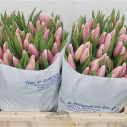 Tulipa En Gabrielle (Тюльпан Эн Габриэль)